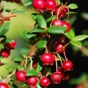Myrtus ugni (NZ Cranberry)