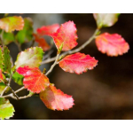 Nothofagus fusca (Red Beech)