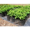 Buxus suffruticosa (Dwarf Box)