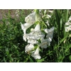 Penstemon white