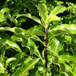 Pittosporum eugenioides (Lemonwood)