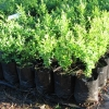 Buxus sempervirens (English Box)