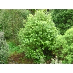 Pittosporum limelight