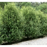 Pittosporum tenuifolium (Black Matipo)