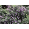 Prostanthera Incisa (Cut Leaf Mint Bush)
