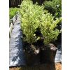 Buxus marginata (Box)