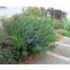 Rosmarinus tuscan blue (Upright Rosemary)