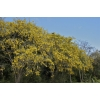 Sophora microphylla (Small-leaved Kowhai)