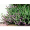 Teucrium chamaedrys (Wall Germander)
