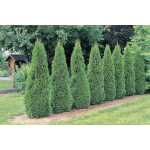 Thuja occidentalis smaragd (Emerald Green Cedar)