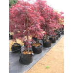 Acer tamukeyama (Japanese Maple)