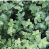 Pittosporum wrinkle blue