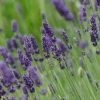 Lavandula angustifolia (English Lavender)