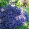 Ceanothus blue carpet (Californian Lilac)