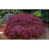 Acer crimson princess (Japanese Maple)