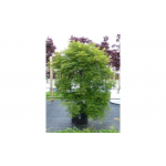 Acer emerald lace (Japanese Maple)