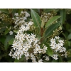 Olearia cheesmanii (Streamside Daisy)