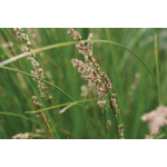 Carex virgata (Swamp Sedge)