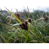 Cyperus ustulatus (Giant Umbrella Sedge)