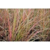 Anemanthele lessoniana (Wind Grass)