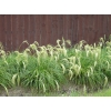 Chionochloa flavicans (Snow Tussock)