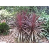 Cordyline australis purpurea (Cabbage Tree)