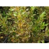 Coprosma copper shine (Copper Shine Mirror Bush)
