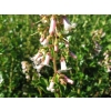 Escallonia fielders white