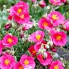 Helianthemum (Rockrose)